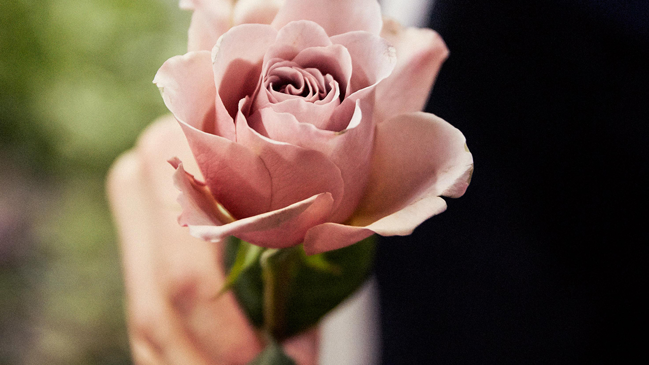 Pink rose in hand
